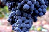 杜埃罗河岸葡萄酒